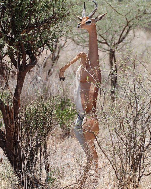 羚羊都在樹蔭下乘涼休息,而這只羚羊似乎因為饑餓難忍,獨自走高清圖片