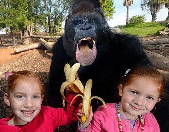 澳大利亚动物园大猩猩隔玻璃欲吃香蕉