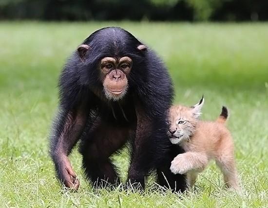 据英国媒体7月1日报道,美国南加州默特尔海滩野生动物园的一只黑猩猩幼崽和一只小猞猁出人意外地成了一对好朋友。20个月大的黑猩猩Varli十分喜欢和9周大的猞猁朋友Sutra一起玩耍。哥俩经常追逐嬉闹,相互搂抱,甚至在一起睡觉。据悉,小猞猁Sutra一个月大的时候,就与黑猩猩Varli建立起了哥弟关系。动物园的管理员安泰尔(Bhagavan Antel)说:它俩的关系自然而然就建立起来了。Varli教会了Sutra探险能力,两个小家伙儿时刻都待在一起。